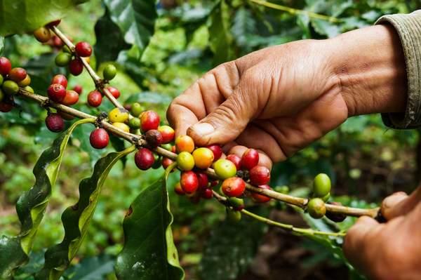 Ernte von Kaffeebohnen