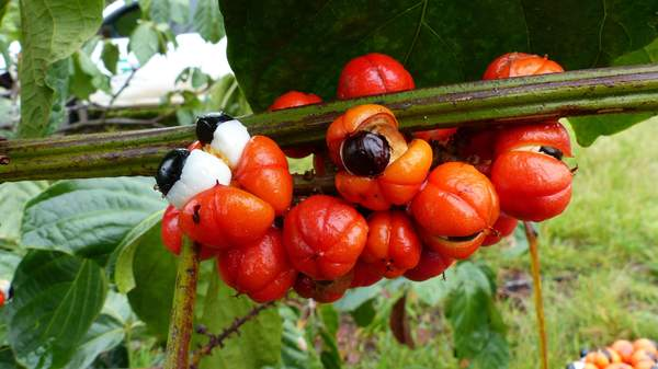 Früchte der Guarana-Pflanze