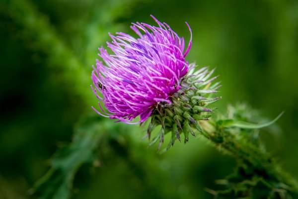 Mariendistel mit ihrer violetten Blüte
